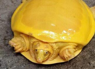 Tortuga color amarillo cheddar