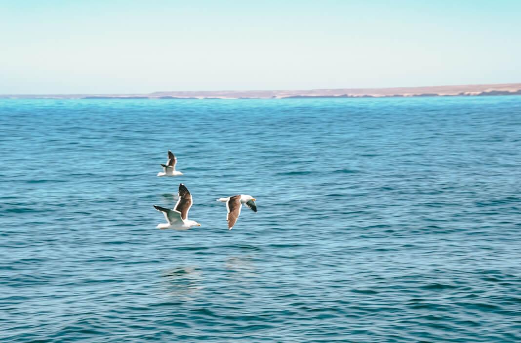 Gaviotas volando en Península Valdés