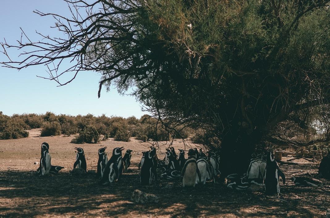 Pingüinos abajo de un árbol